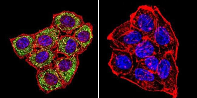 CNGA3 Antibody in Immunofluorescence (IF)