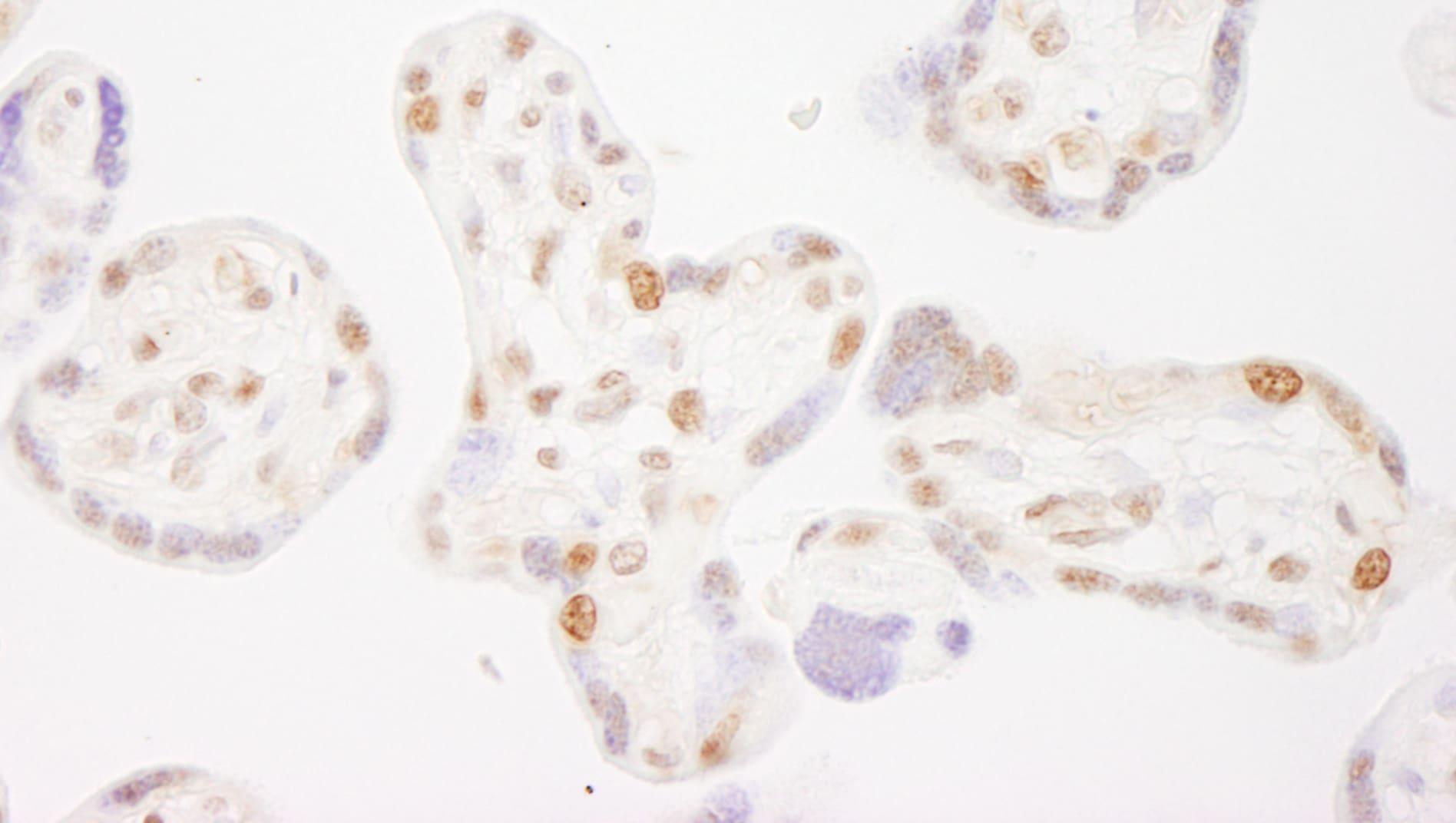 COBRA1 Antibody in Immunohistochemistry (IHC)
