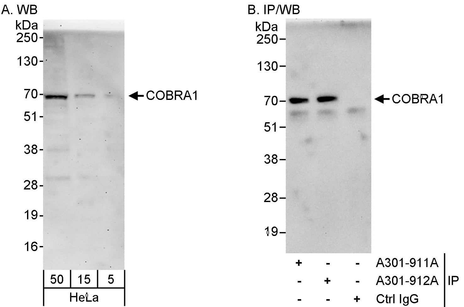 COBRA1 Antibody in Western Blot (WB)