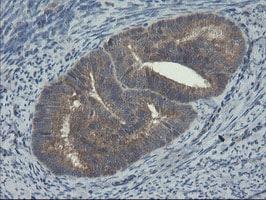 COMMD1 Antibody in Immunohistochemistry (Paraffin) (IHC (P))