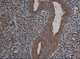 CPA1 (Carboxypeptidase A1) Antibody in Immunohistochemistry (Paraffin) (IHC (P))