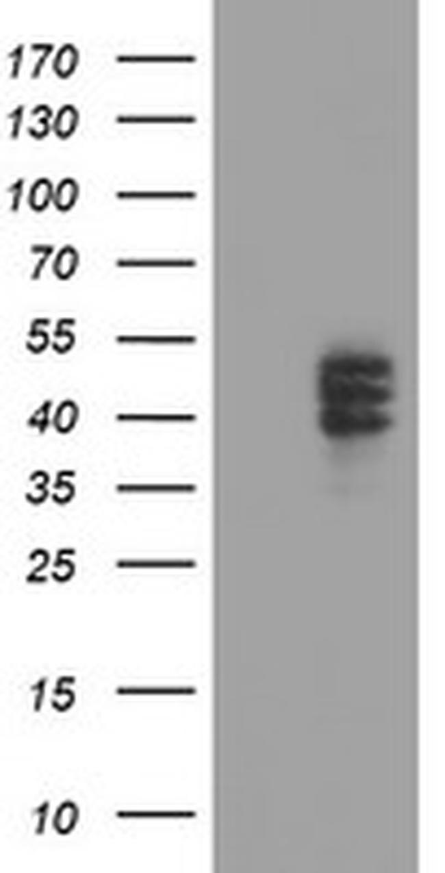 CPO Antibody in Western Blot (WB)