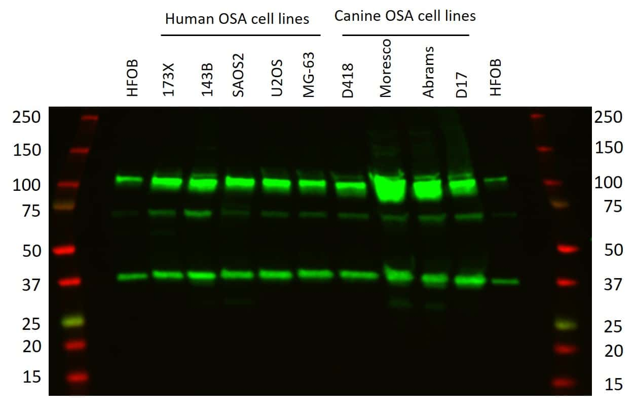 CRM1 Antibody in Relative expression