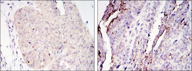 Torc2 Antibody in Immunohistochemistry (IHC)