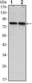 Torc2 Antibody in Western Blot (WB)