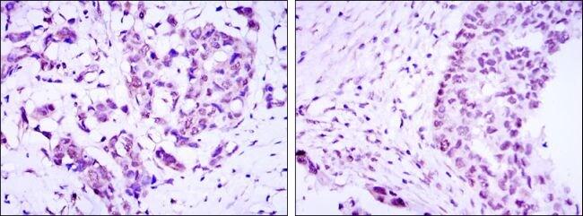Torc3 Antibody in Immunohistochemistry (IHC)