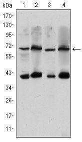 Torc3 Antibody in Western Blot (WB)