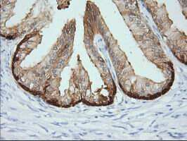 CRYM Antibody in Immunohistochemistry (Paraffin) (IHC (P))
