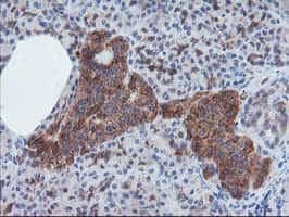 CRYZL1 Antibody in Immunohistochemistry (Paraffin) (IHC (P))
