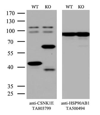CSNK1E Antibody in Western Blot (WB)