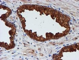 CST3 Antibody in Immunohistochemistry (Paraffin) (IHC (P))