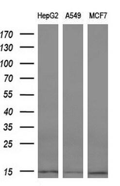 CST3 Antibody in Western Blot (WB)