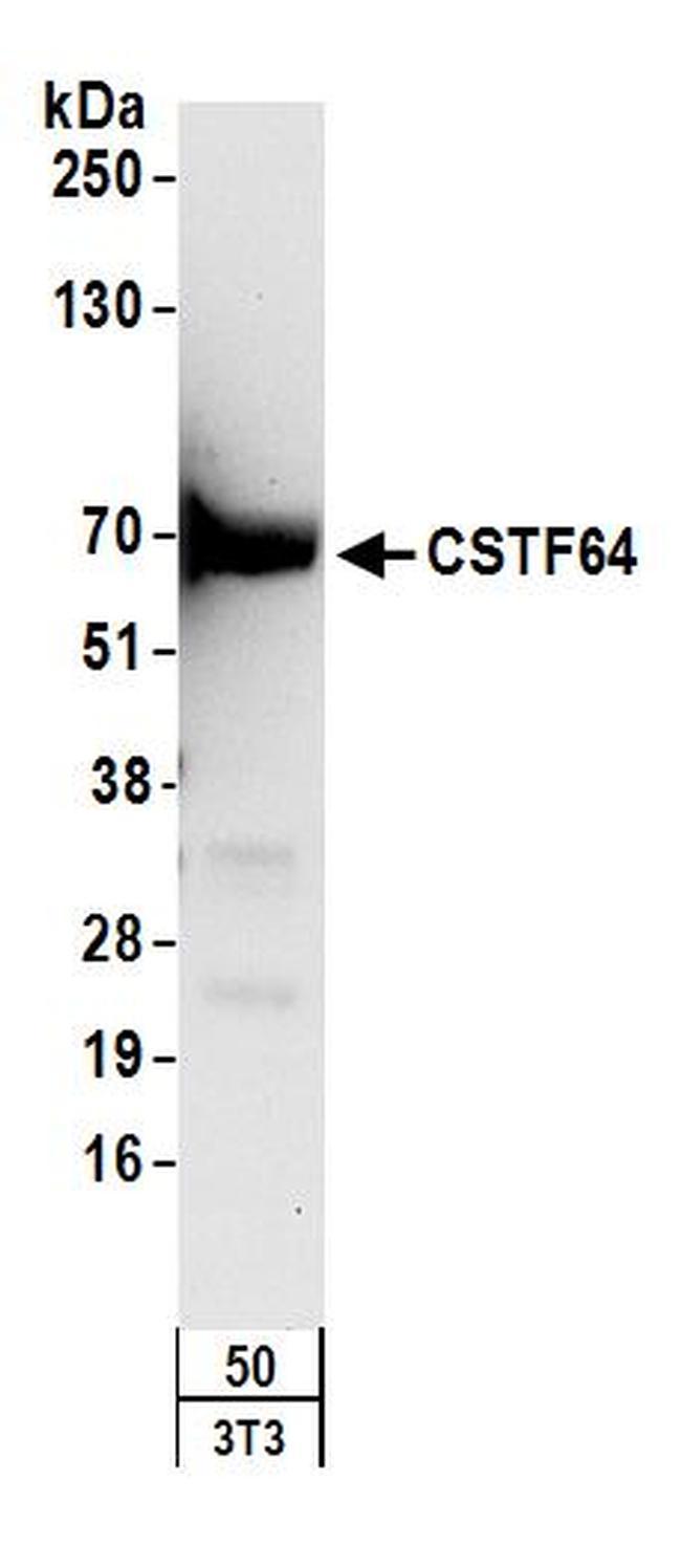 CSTF64 Antibody in Western Blot (WB)