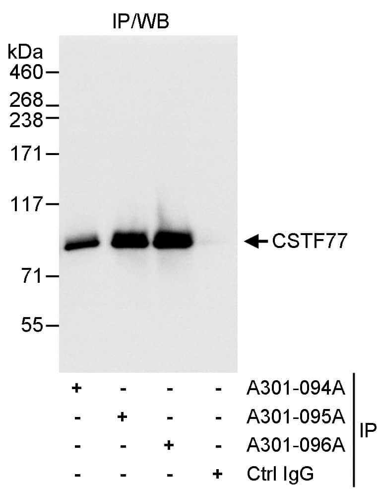 CSTF77 Antibody in Immunoprecipitation (IP)