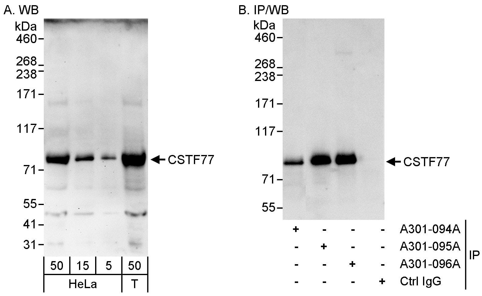 CSTF77 Antibody in Western Blot (WB)