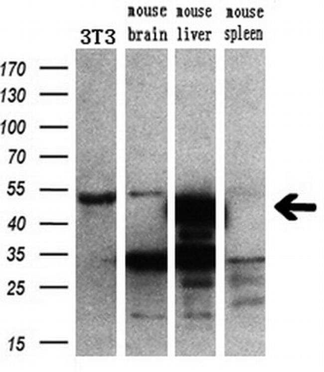 CUGBP1 Antibody in Western Blot (WB)