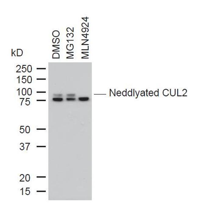 Cullin 2 Antibody in Western Blot (WB)