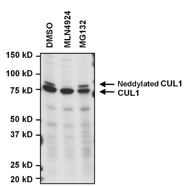 Cullin 1 Antibody in Western Blot (WB)