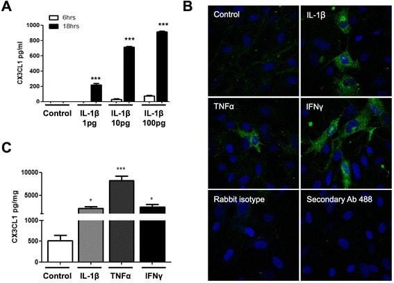 CX3CL1 (Fractalkine) Antibody