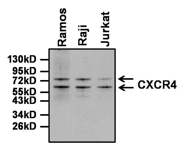 CXCR4 Antibody in Western Blot (WB)