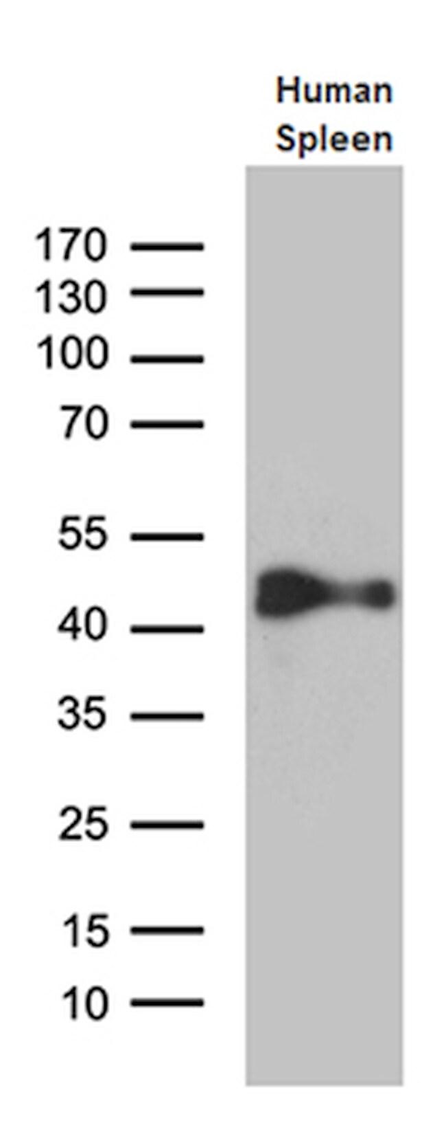 CYTH4 Antibody in Western Blot (WB)
