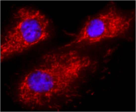 Calnexin Antibody in Immunofluorescence (IF)