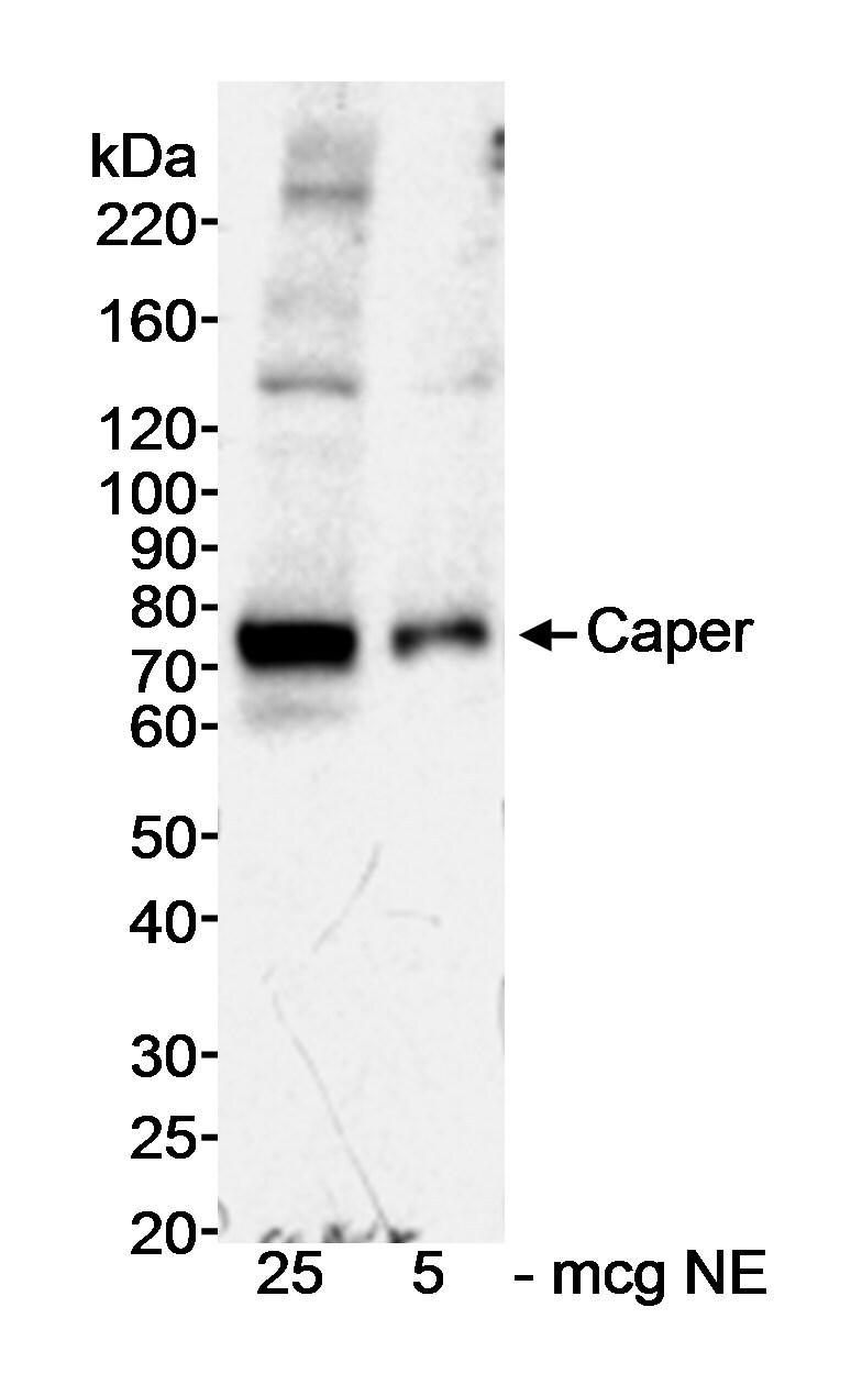 Caper Antibody in Western Blot (WB)