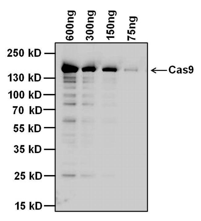 Cas9 Antibody Monoclonal 10c11 A12
