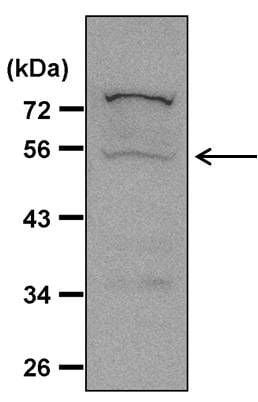 Caspase 8 Antibody in Western Blot (WB)