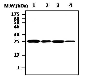 Cathepsin H Antibody in Western Blot (WB)