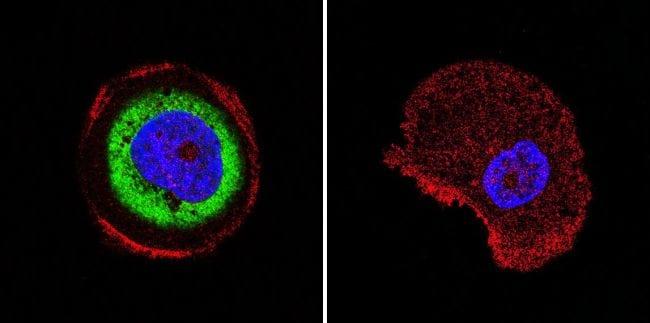 Cdc37 Antibody in Immunofluorescence (IF)