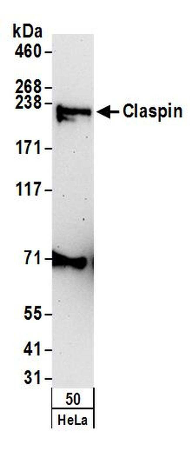Claspin Antibody in Western Blot (WB)