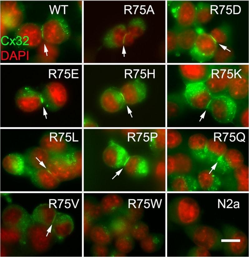 Connexin 32 Antibody