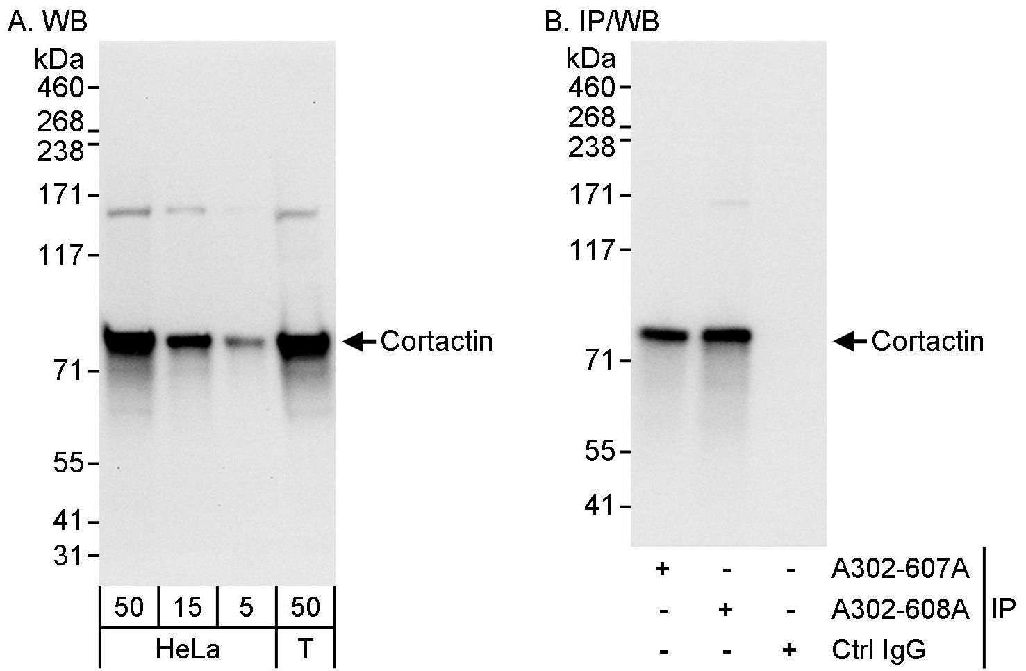 Cortactin Antibody in Western Blot (WB)