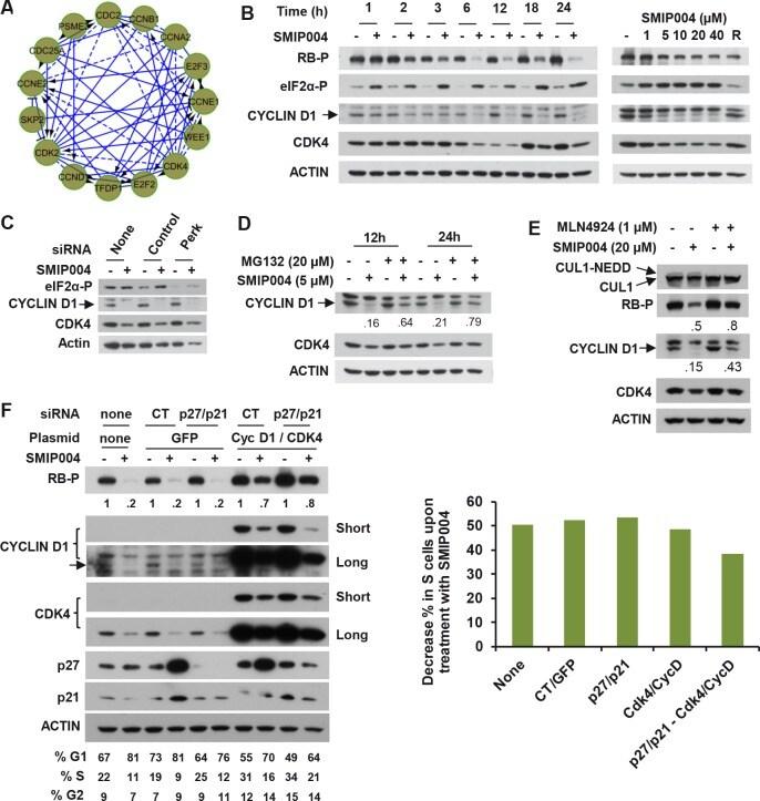 Cullin 1 Antibody