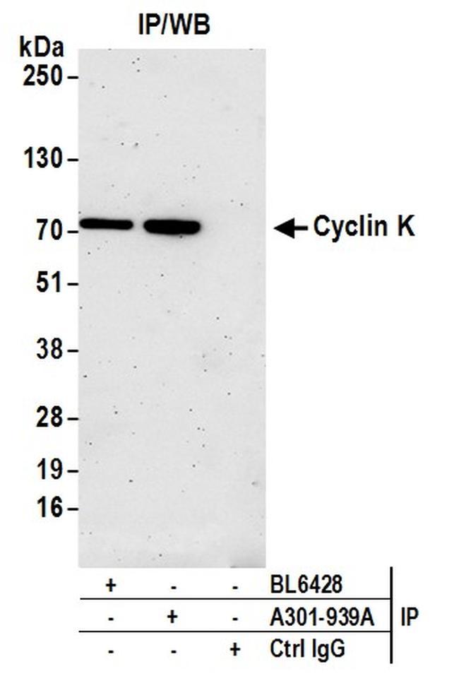 Cyclin K Antibody in Western Blot (WB)