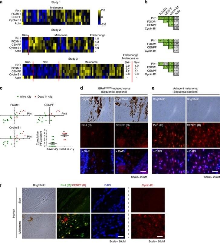 Cyclin B1 Antibody