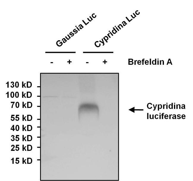 Cypridina luciferase Antibody in Western Blot (WB)