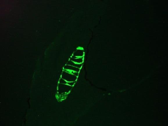 Cytokeratin 13 Antibody in Immunofluorescence (IF)