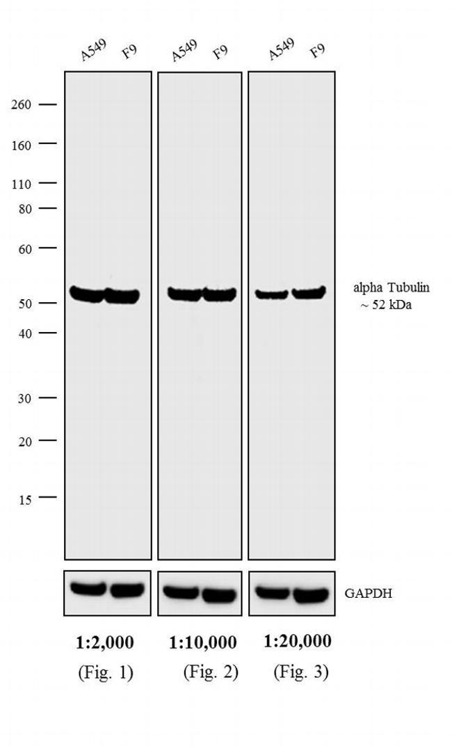 Rat IgG (H+L) Cross-Adsorbed Antibody in Western Blot (WB)