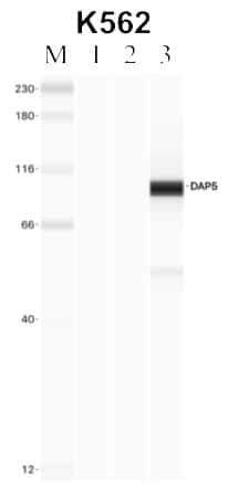 DAP5 Antibody in Immunoprecipitation (IP)