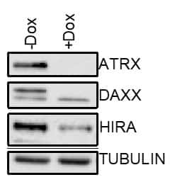 DAXX Antibody in Cell treatment