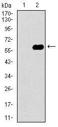 Dynactin 4 Antibody in Western Blot (WB)