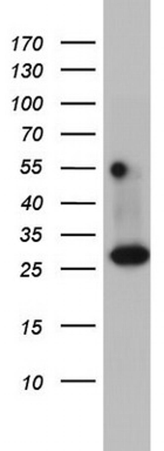 DDIT3 Antibody in Western Blot (WB)