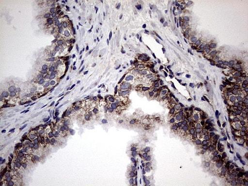 DDOST Antibody in Immunohistochemistry (Paraffin) (IHC (P))