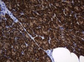 DDT Antibody in Immunohistochemistry (Paraffin) (IHC (P))