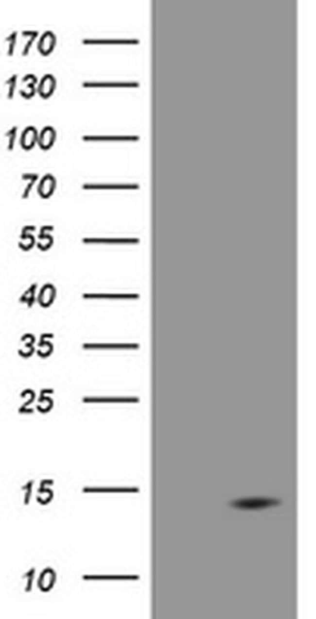 DDT Antibody in Western Blot (WB)