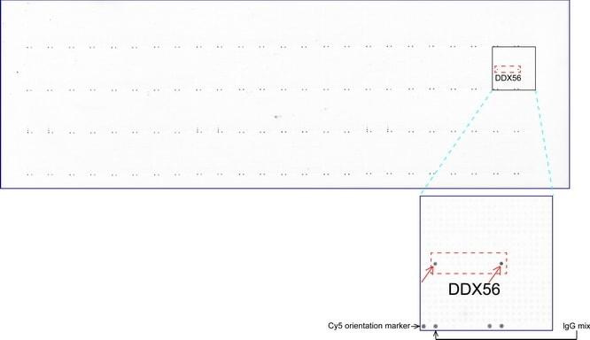 DDX56 Antibody in Peptide array (ARRAY)