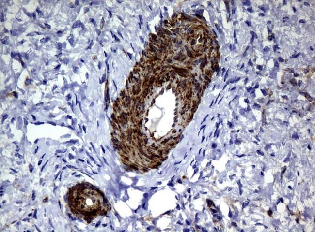 DEF6 Antibody in Immunohistochemistry (Paraffin) (IHC (P))