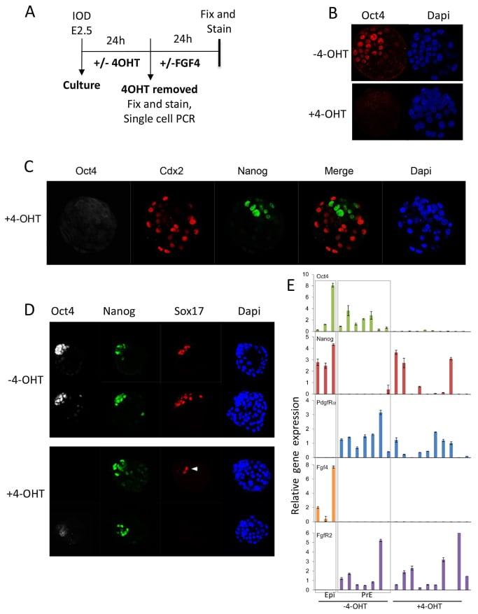 Nanog Antibody